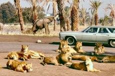 lion-country-safari3