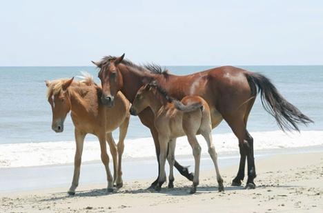 horse-family