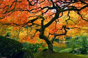 japanese_tree_in_autumn