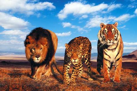 lion-leopard-tiger