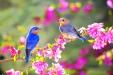 spring-pink-blossom-bluebirds